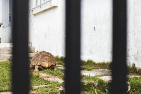 a pet tortoise