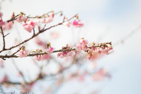 Mt Yae Cherry Blossom