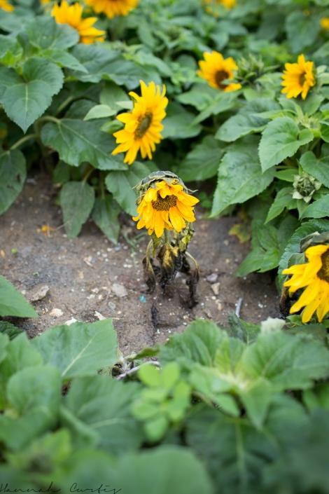 I felt sad for this little sunflower!