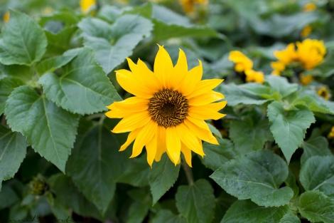 Fun Flying Four Kitanagusuku Sunflower Festival  (7 of 12)