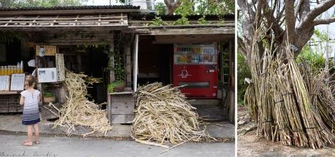 the sugarcane
