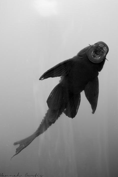 sucker fish thing!
