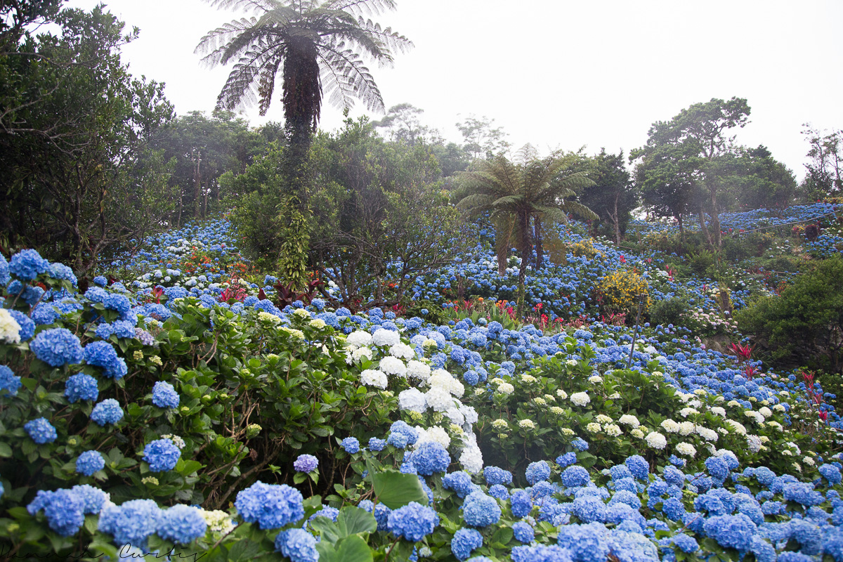 A Sea of Hydrangeas Yohena Aijsai Garden FUN FLYING FOUR