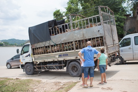 truck full of pigs waiting for the 'ferry'
