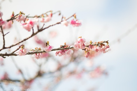 Mt Yae Cherry Blossom Festival, Jan 2015