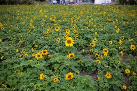 Kitanagusuku Sunflower Festival, 2015