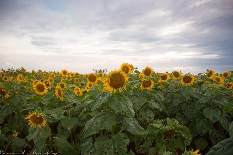 Yomitan Sunflower Field, June 2015