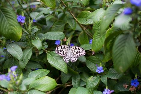 Butterfly Garden Okinawa_-11