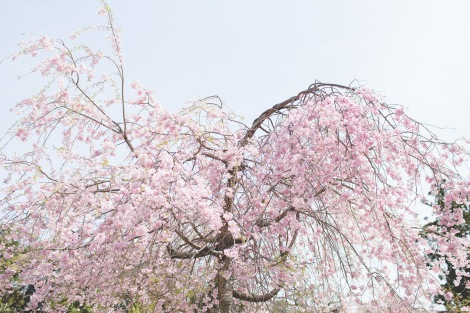 we just missed the peak of the cherry blossom season BUT there were still ample of beautiful blooms!